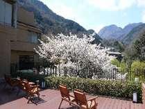 8階展望テラスから望む大島桜