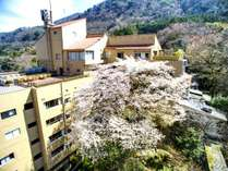 おくゆもと自慢の大島桜♪