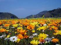 5月5日まで楽しめる、松崎町の田んぼを使った花畑