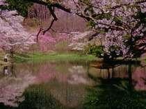 清楚な湖畔の桜