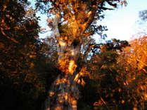 【縄文杉】黄金色に輝く縄文杉からパワーをもらいに行こう!