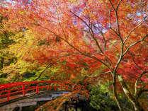 美しく色づく、秋の河鹿橋。夜にはライトアップも開催されます。