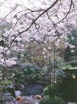 """植えられたソメイヨシノが頭上を覆い、山肌にヤマザクラ咲く""""桜、桜・・・""""の露天風呂"""
