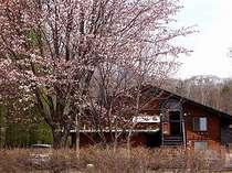 春のペンション外観、庭の山桜が春を実感させてくれます