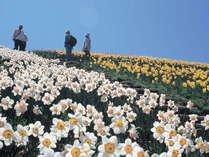 【びわ湖バレイ】5月〜6月にかけて水仙がとってもきれいに咲きます。