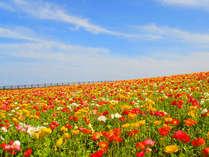 【あわじ花さじき】4月中旬~5月中旬は色とりどりのポピーがお出迎え