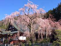 身延山に咲き誇る樹齢400年のしだれ桜は圧巻です。久遠寺までは無料送迎いたします。