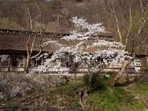 【春】築160年年以上の茅葺き屋根 客室梅の間外観