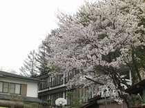 満開のさくら 春の鶏冠荘