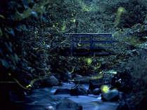 *【周辺】当館の目の前の庭が、国指定のゲンジボタルの群生地です!