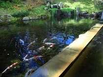 【雫石高倉温泉(夏)】すぐそばには鯉が泳ぐ池があります。