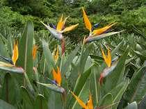島の花ストレリチア