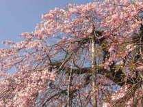 龍泉寺の枝垂れ桜