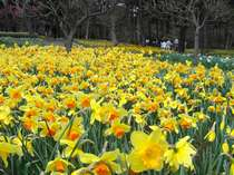 ◆春 ひたち海浜公園-1 スイセン