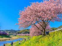 早春の南伊豆 2月10日~3月10日までは『みなみの桜と菜の花まつり』開催