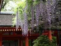 春日大社の藤の花