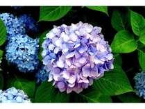 6月は紫陽花の季節ですね♪