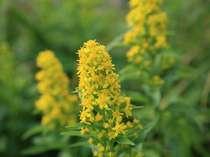 車山高原に咲く「アキノキリンソウ」8月中旬より9月