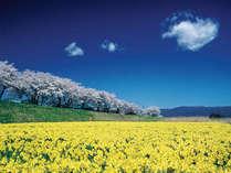 上川の桜とスイセン