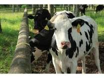 蓼科の生物 蓼科第二牧場の牛達