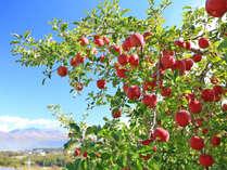 信州のりんご 美味しいですよ。