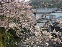 満開の桜 小田温泉エントランスを望む 花吹雪も心地よい