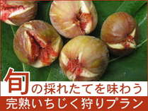 【いちじく収穫体験】旬の無花果「蓬莱柿」を採れたてで味わう!いちじく狩りプラン