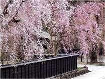 武家屋敷「角館のしだれ桜」