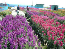 *千倉の花畑/春の房総半島は、色とりどりのお花でいっぱい★