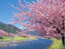 2月10日~3月10日は河津桜まつり開催。当館から車7分。夕食後、夜桜ライトアップ会場まで送迎致します。