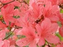 庭に咲く満開のレンゲツツジ