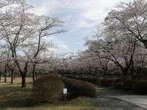 。*お花見*。GWに咲く300本のソメイヨシノにウットリ♪桜の名所『聖光寺』アクセス良し■1泊2食