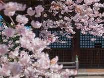 ■聖光寺の桜 ゴールデンウィークに見ごろを迎える桜。当館から車で20分です。