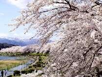 町の中心を流れる桧木内川堤に咲き誇るソメイヨシノ