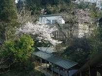 露天風呂の周りには多くの桜をご覧頂けます。
