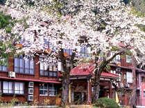 *【外観/春】松之山の桜は4月後半が見頃。野山でも、春を待ちわびた山野草が次々と花を咲かせます。