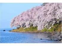 春爛漫!!海津大崎の桜クルーズ4月1日(金)~4月20日(水)