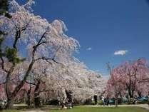 ◆弘前さくらまつり/本丸広場での桜※イメージ