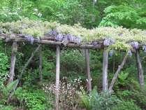 食事処庭の藤の花