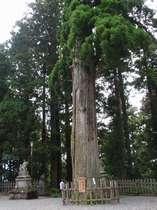 【中社】 杉の木の古木 手で触れてパワーを感じる