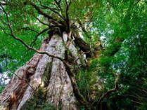【屋久杉】まさに自然の宝庫!神秘の森へ癒されにいらしてください。
