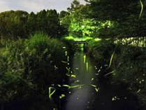 蛍鑑賞の夕涼みで、夏の風物詩をご体験ください。ホタル鑑賞スポット:当館庭園横に流れる小川/徒歩1分