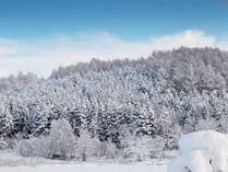 *[ニセコの冬風景]森の木々もパウダースノーに包まれて真っ白!