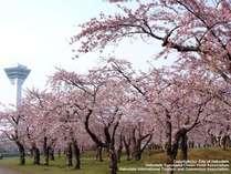 ソメイヨシノを中心に約1600本の桜が咲く五稜郭公園は、函館でも有数のお花見スポット。