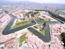桜が満開の五稜郭公園