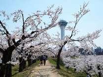 【五稜郭公園】桜が咲く季節が到来♪ゆっくり歩いての散策もオススメです。