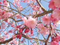 今年も美しい花の小道♪日本のどこより早い春を楽しむ河津桜まつりは2/10~3/10まで☆彡