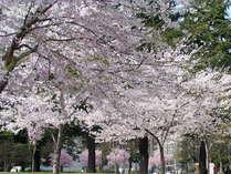 錦町公園 桜
