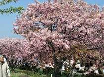 河津桜は2月上旬より咲き始めます 河津桜祭りは2月6日頃から始まります 宿より車で5分位で行けます。