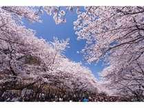 上野公園 桜       開花時期 3月~4月